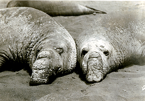 Elephant seals close-up, Gualalupe Island, June 26